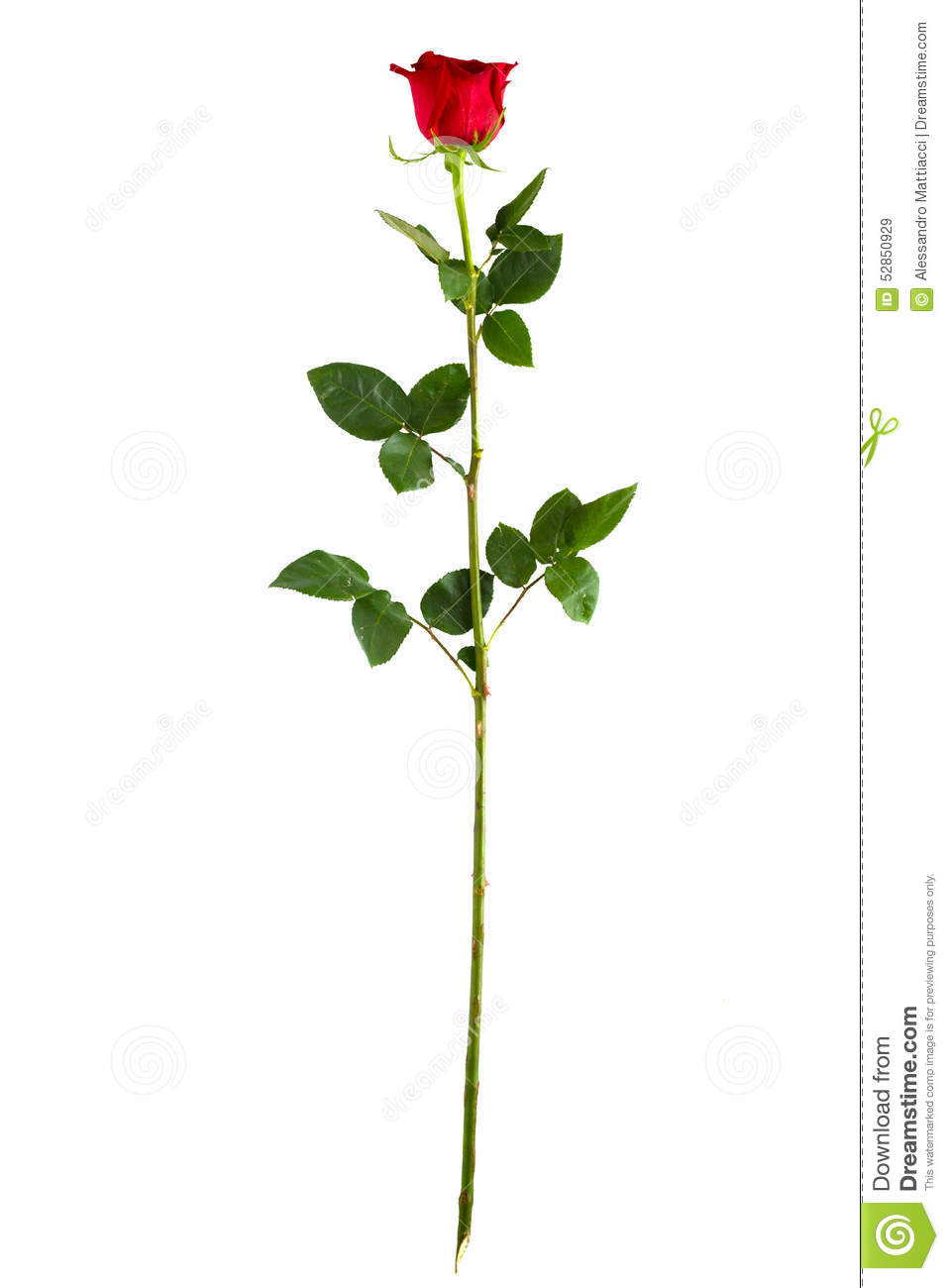 Complete Long Stem Vertical Red Rose Stock Photo Image