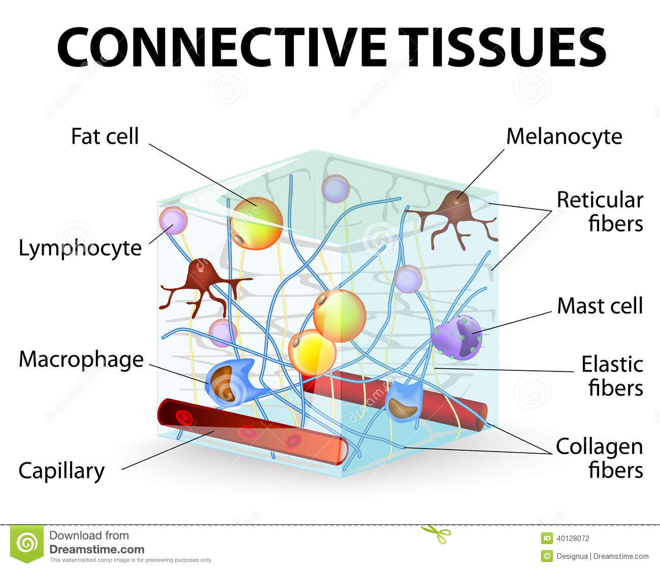 hight resolution of connective tissue