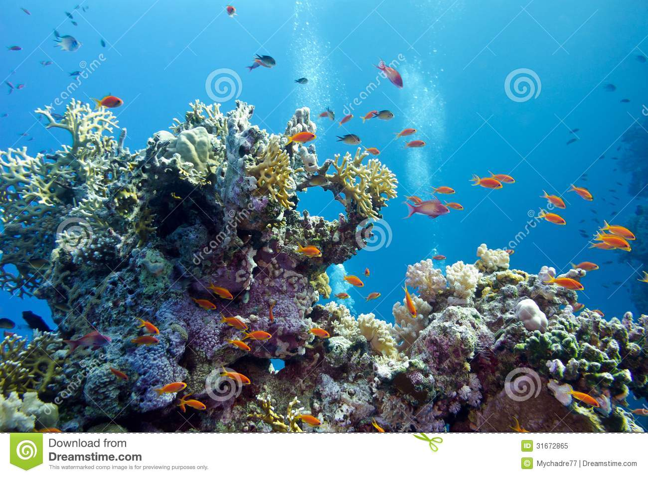 Animated Fish Tank Wallpaper Coral Reef With Hard Corals And Exotic Fishes Anthias At