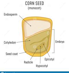 corn seed structure anatomy of grain monocot seed diagram  [ 1486 x 1689 Pixel ]