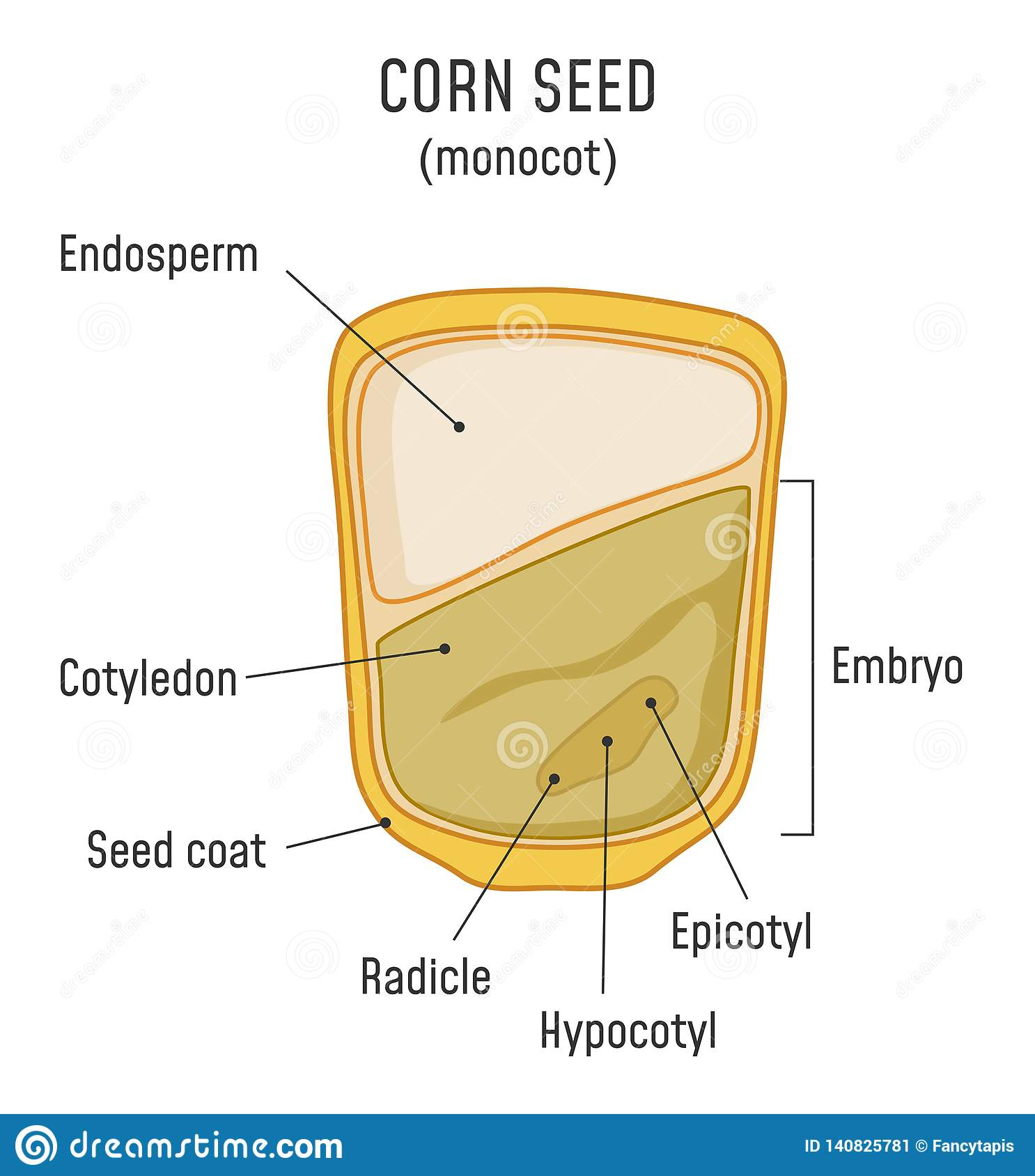 hight resolution of corn seed structure anatomy of grain monocot seed diagram