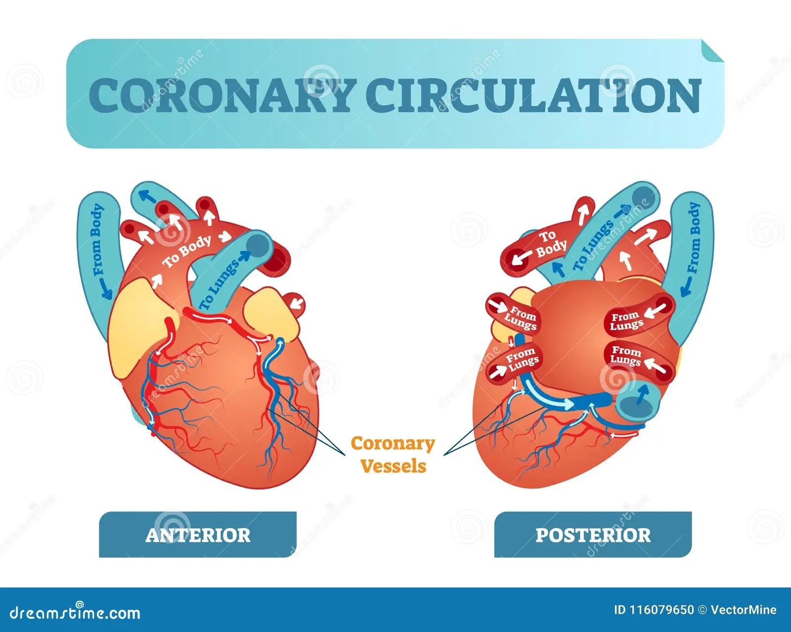 coronary anatomy diagram refrigerator wiring circulation cartoons illustrations and vector stock images