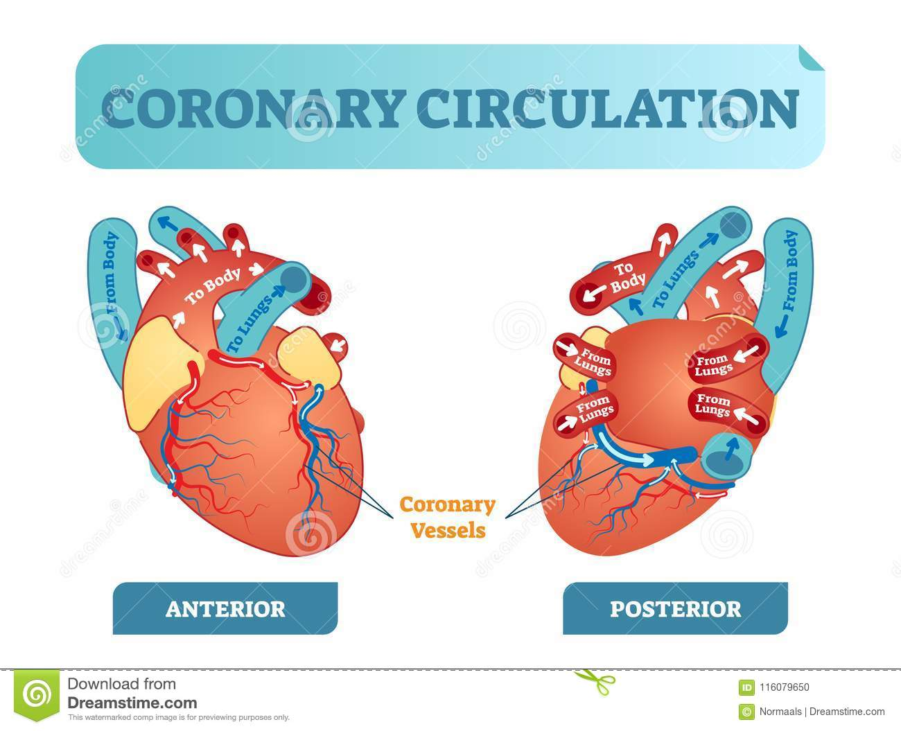 hight resolution of coronary circulation anatomical cross section diagram labeled vector illustration scheme blood flow circuit