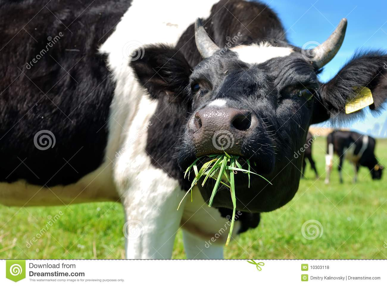 Cow Chewing Grass Royalty Free Stock Photos Image 10303118
