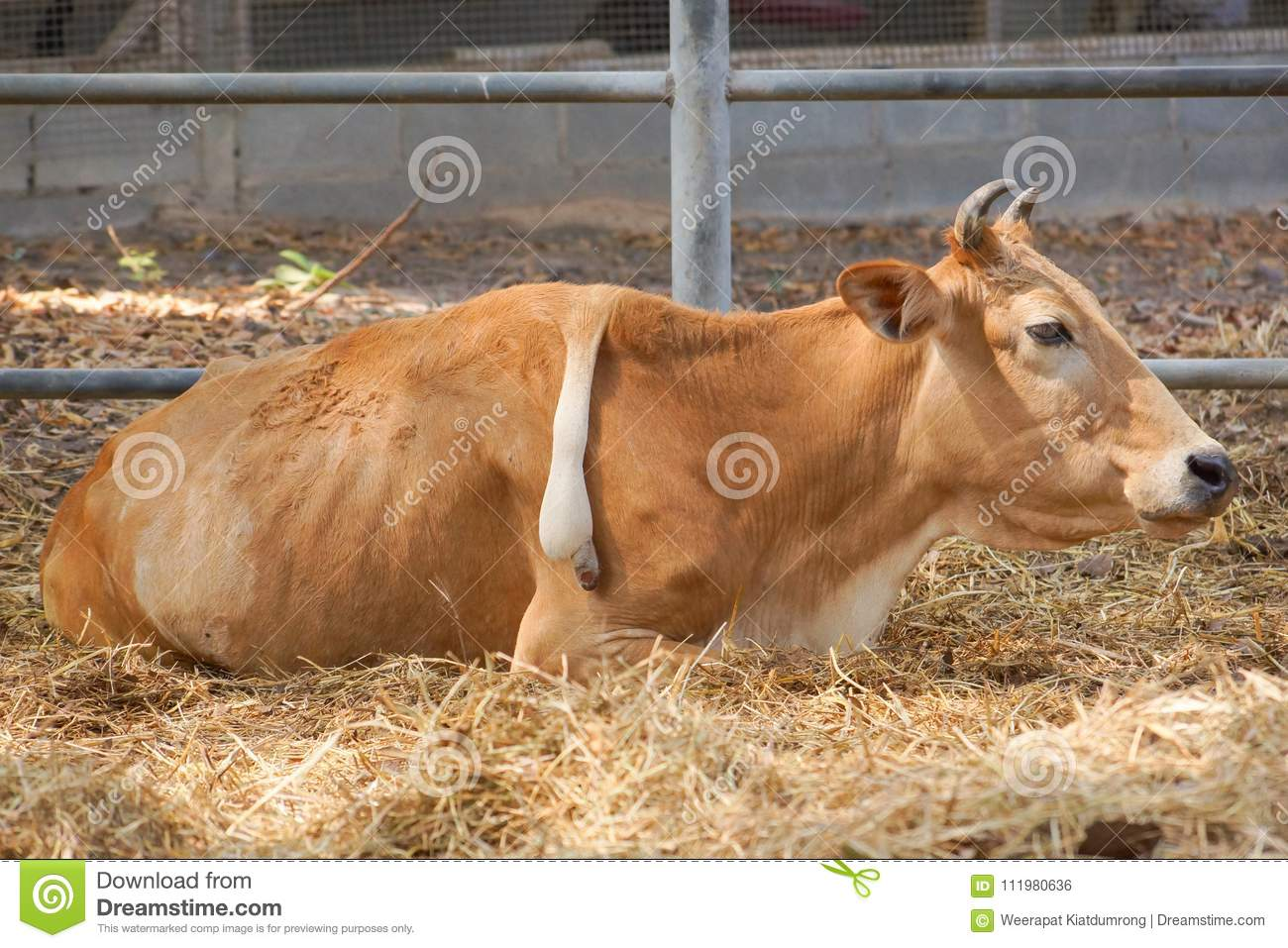 A Cow With Extra Leg On Its Back Stock Photo - Image of ...