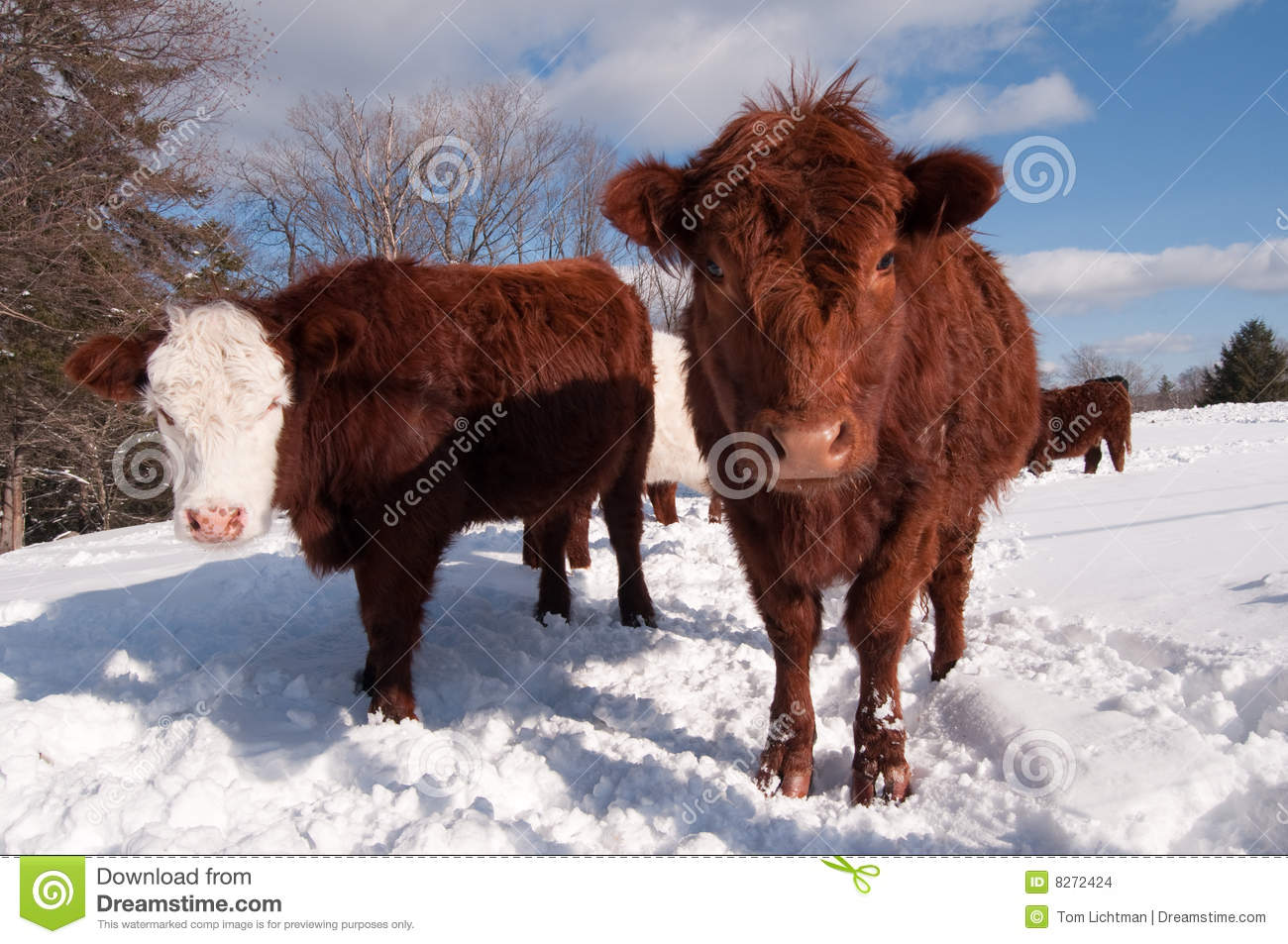 Cows In Winter Stock Images Image 8272424