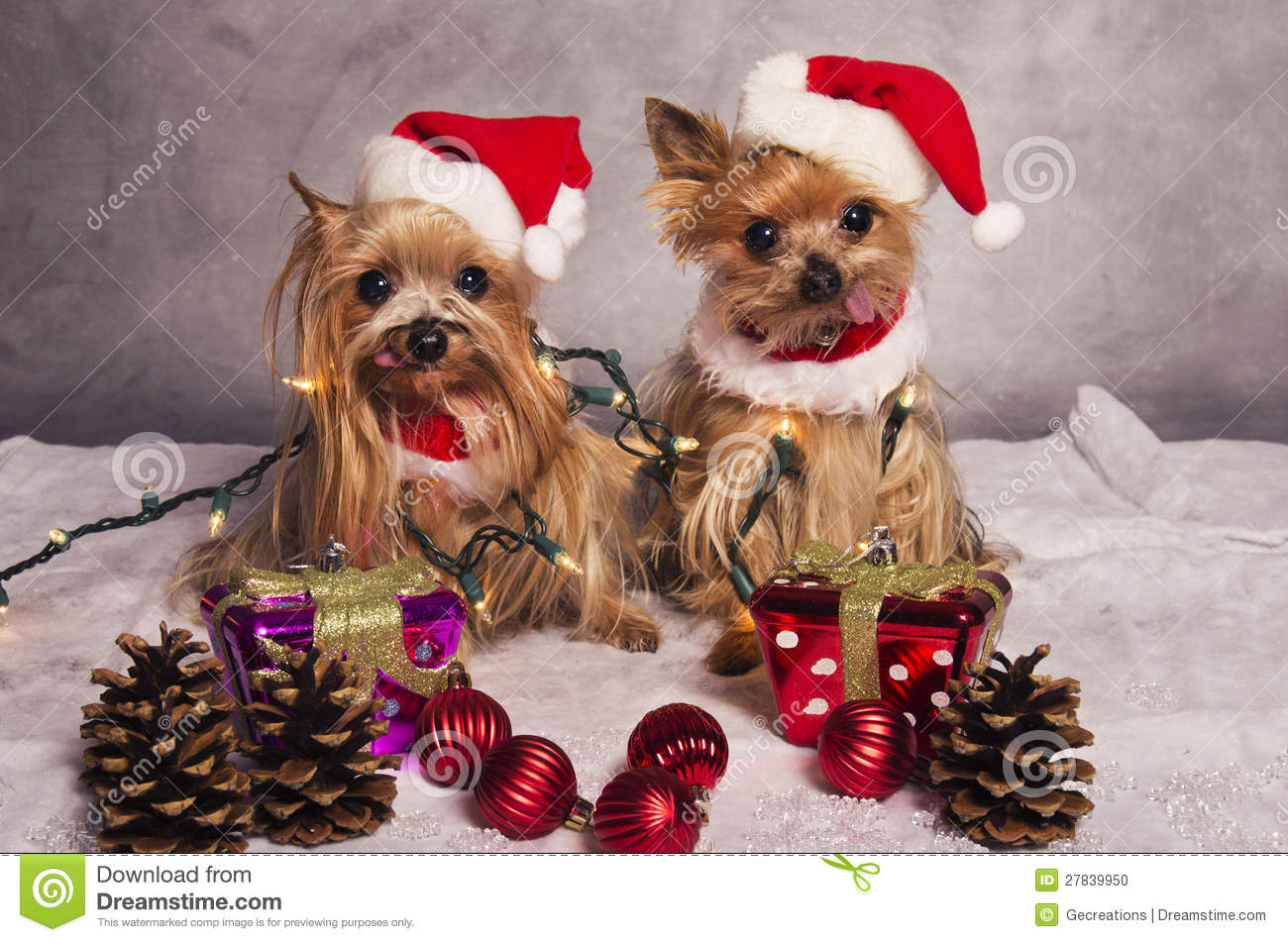Crabots De Chien Terrier De Yorkshire De Nol Photo Stock