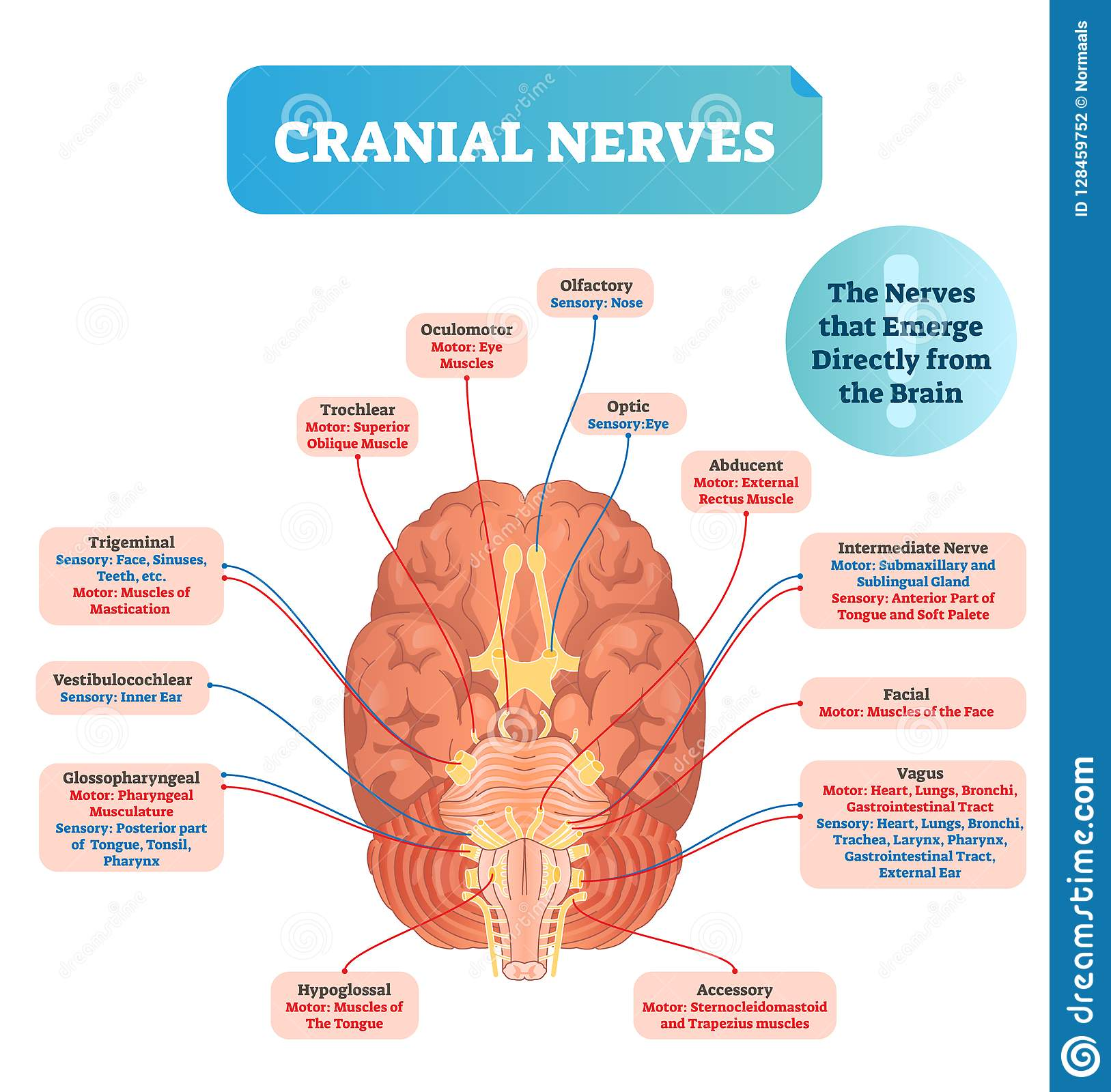 hight resolution of cranial nerves vector illustration labeled diagram with brain sections