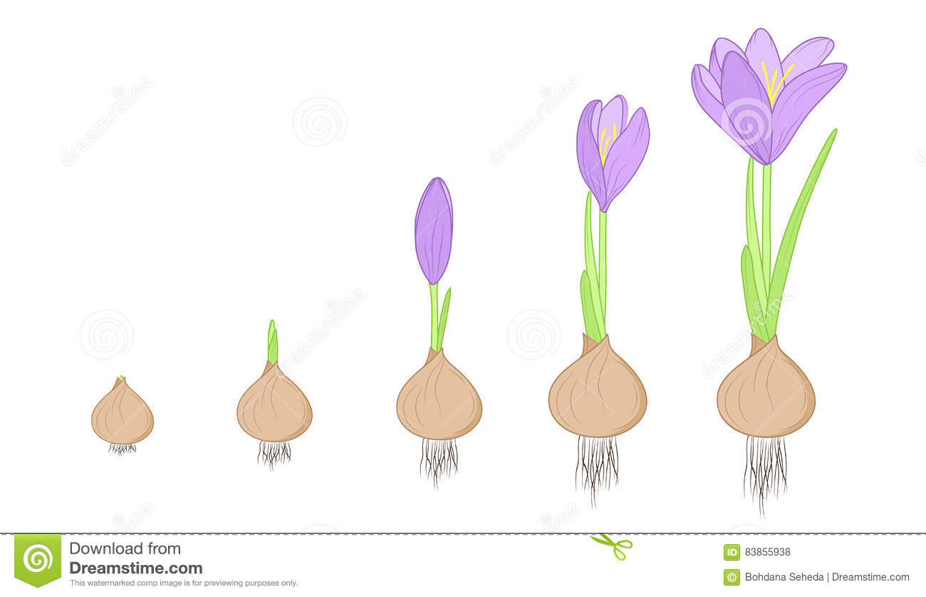 Crocus Flower Evolution Stages Bulb To Plant Stock Vector
