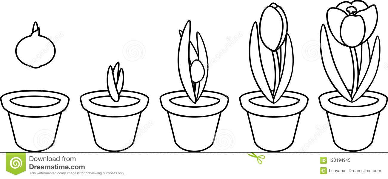 Crocus life cycle. stock vector. Illustration of