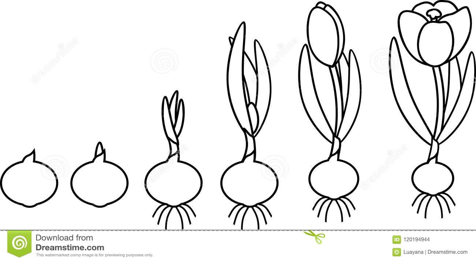 Crocus life cycle. stock vector. Illustration of grow