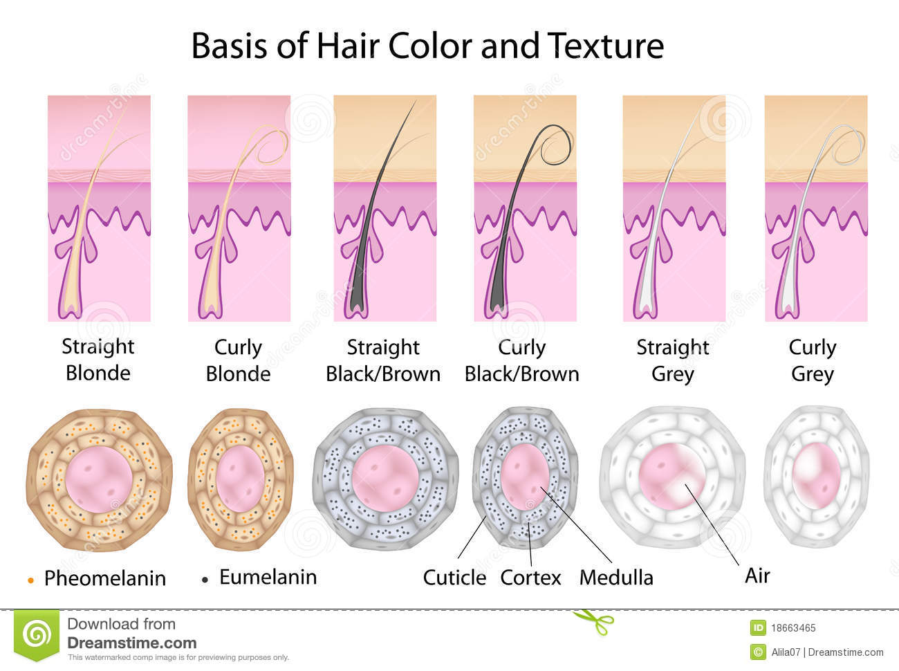 Cross Section Of Different Hair Texture And Color Stock