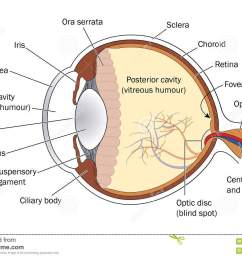 cross section through the eye showing the lens retina and optic nerve  [ 1300 x 969 Pixel ]