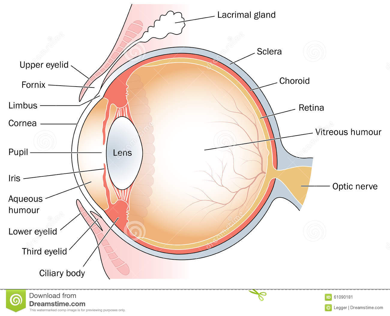 parts of the eyelid diagram 2006 harley davidson radio wiring cross section through eye stock vector illustration choroid and eyelids including lacrimal gland third created in adobe illustrator contains transparent objects