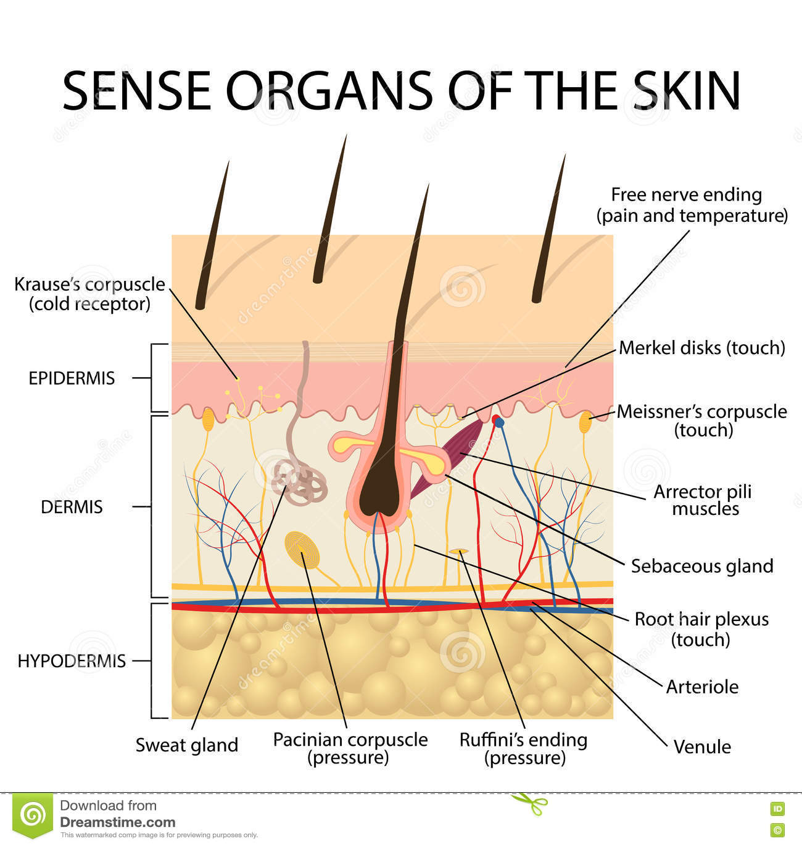 Cross Section Human Skin Stock Vector Illustration Of
