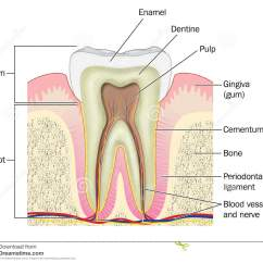 Diagram For 5 Gum Computer Architecture Block Cross Section Through Tooth Stock Illustration