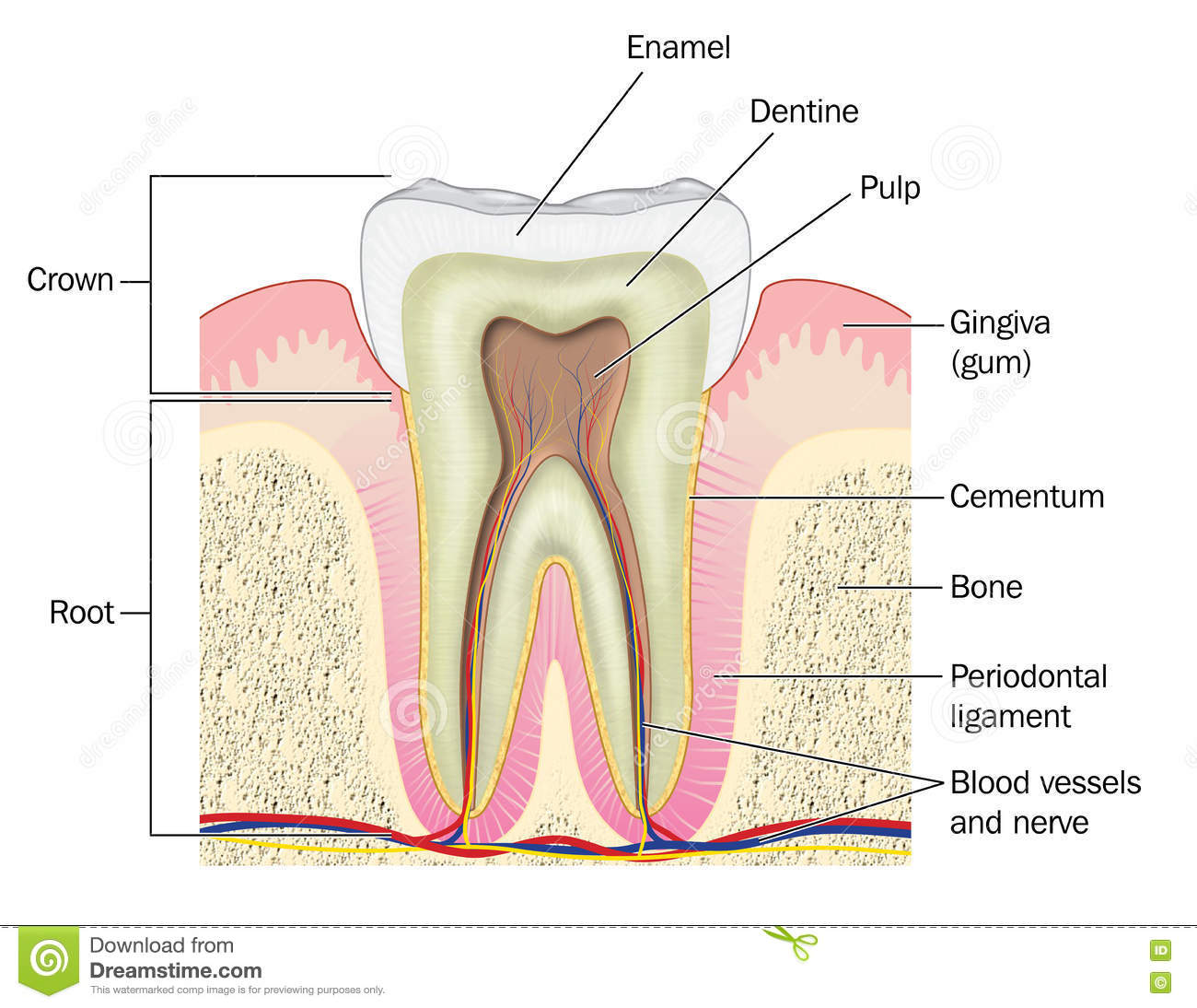 hight resolution of cross section through a molar tooth showing the crown and root plus the gum bone blood vessels and nerves