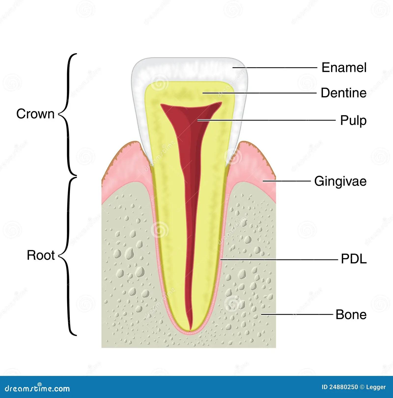 Dental Anatomy Premolar