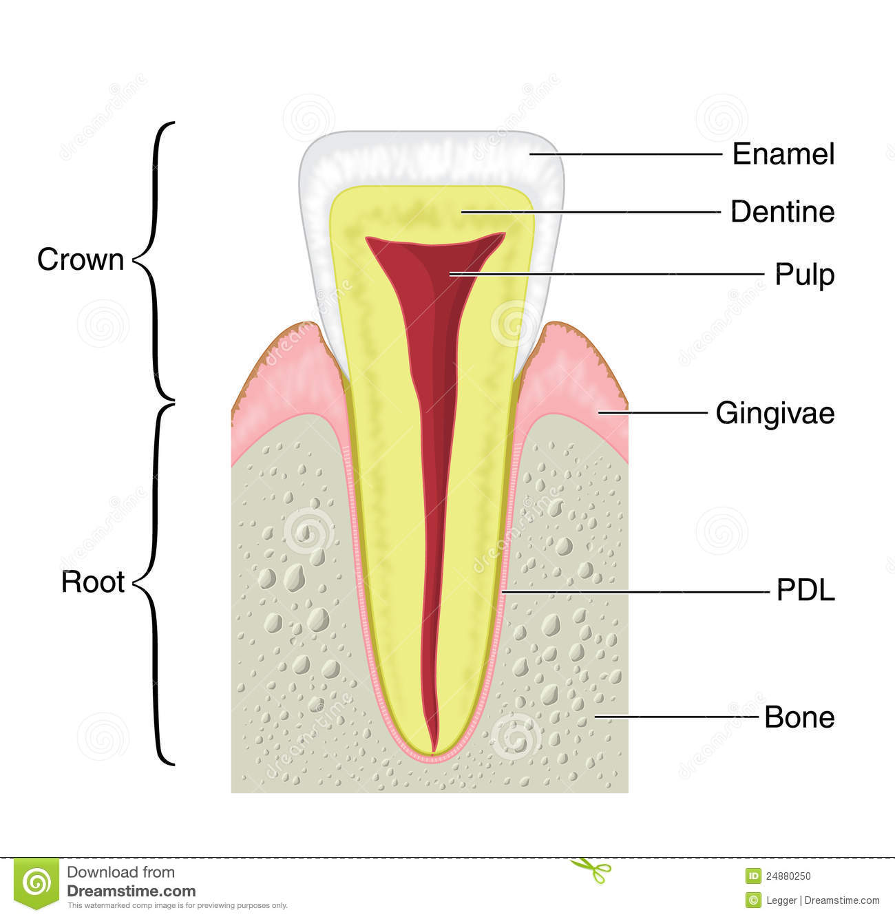 anterior teeth diagram internal wiring of a thermostat cross section typical tooth stock vector image