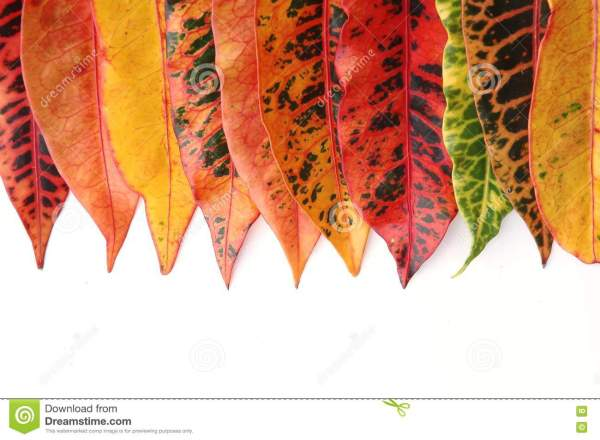Croton Leaves Stock - 16035341