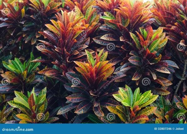 Croton Leaves Royalty Free Stock - 32807246
