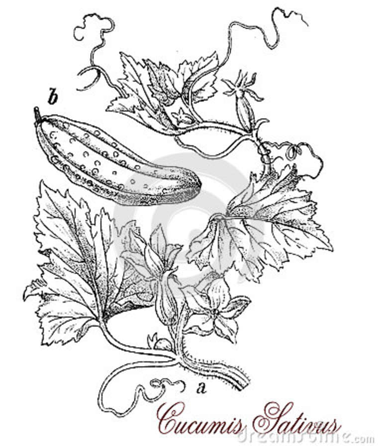 Vegetable Radish With Leaves Vector