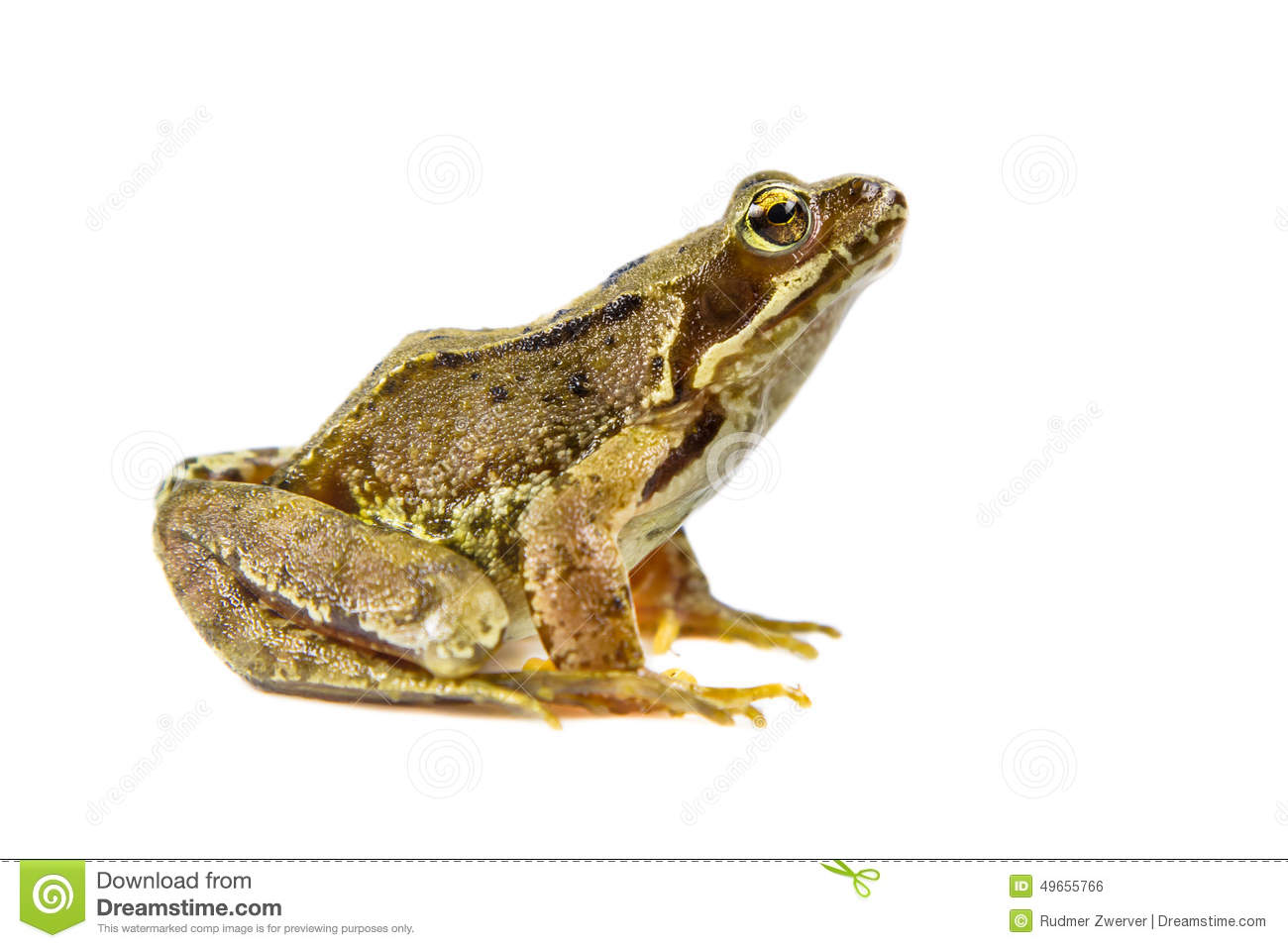 Cut Out Common Frog Stock Photo Image Of Fauna Bold