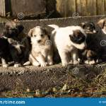 Cute Australian Shepherd Puppies In Countryside In Romania Stock Image Image Of Happy Adorable 167655963