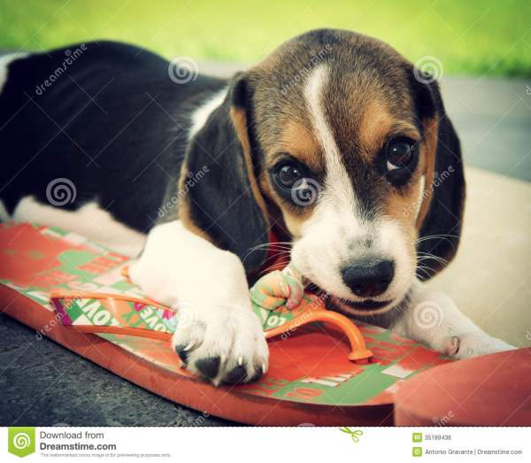 Doggy With Slipper Royalty-free Stock