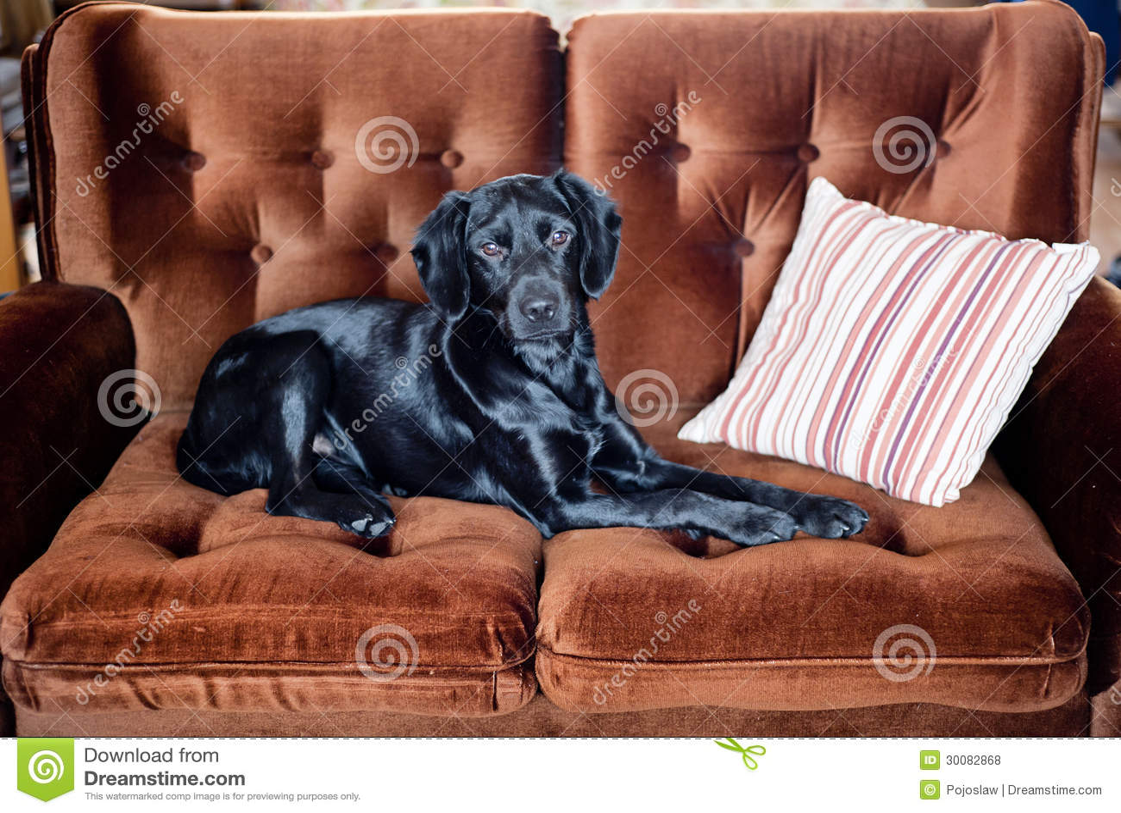 crazy sofa ride flat cushions handsome beauty cute animal vector illustration