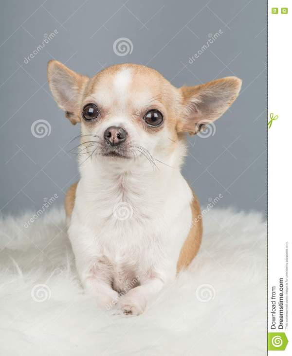 Cute Brown And White Chihuahua Dog Lying Down On A Grey