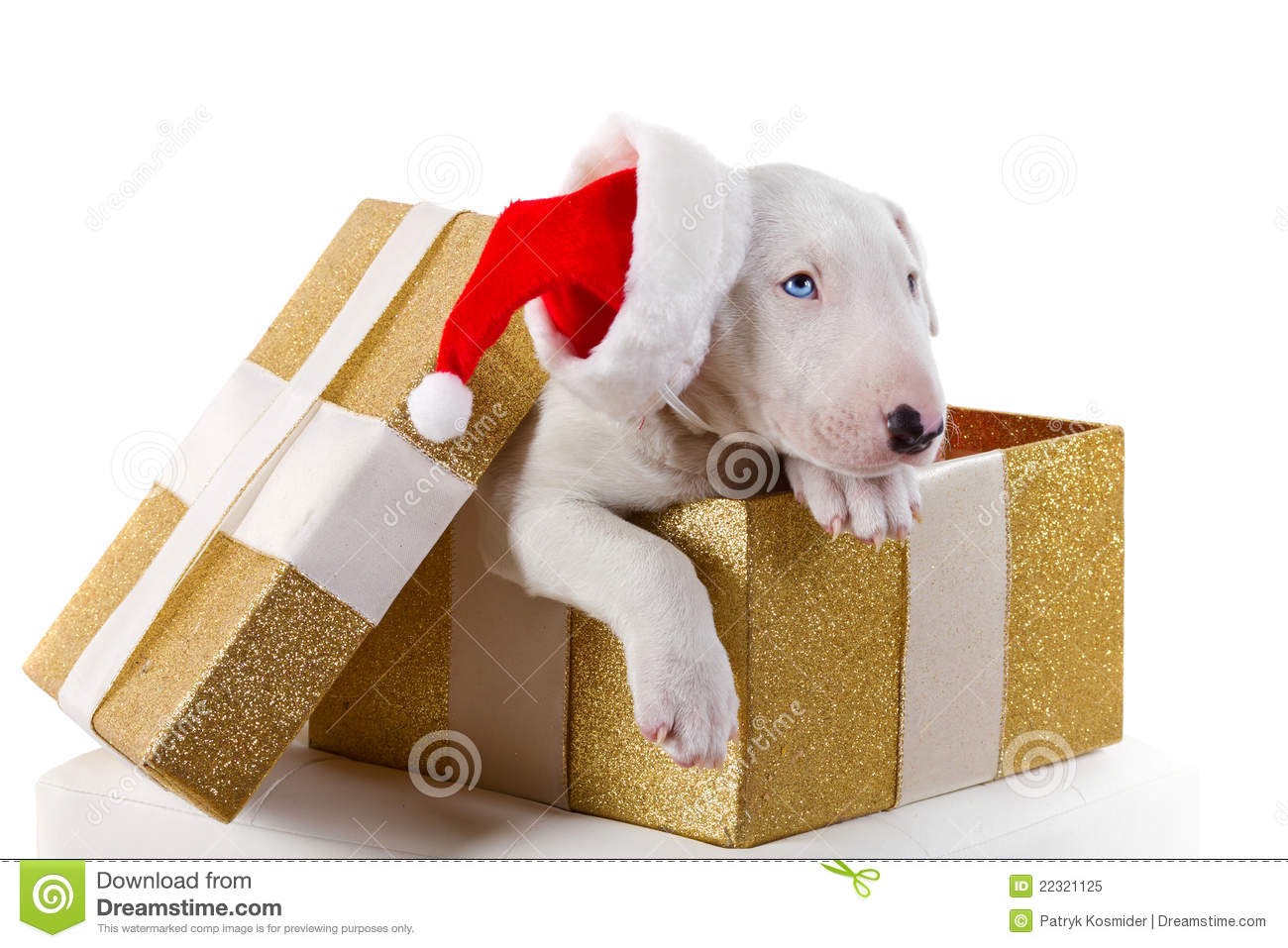 Cute Bullterrier Puppy In Christmas Gift Box Royalty Free