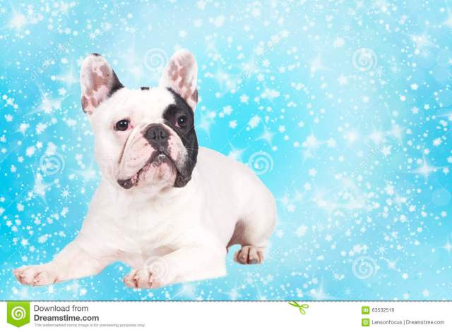 cute french bulldog on blue star background stock image