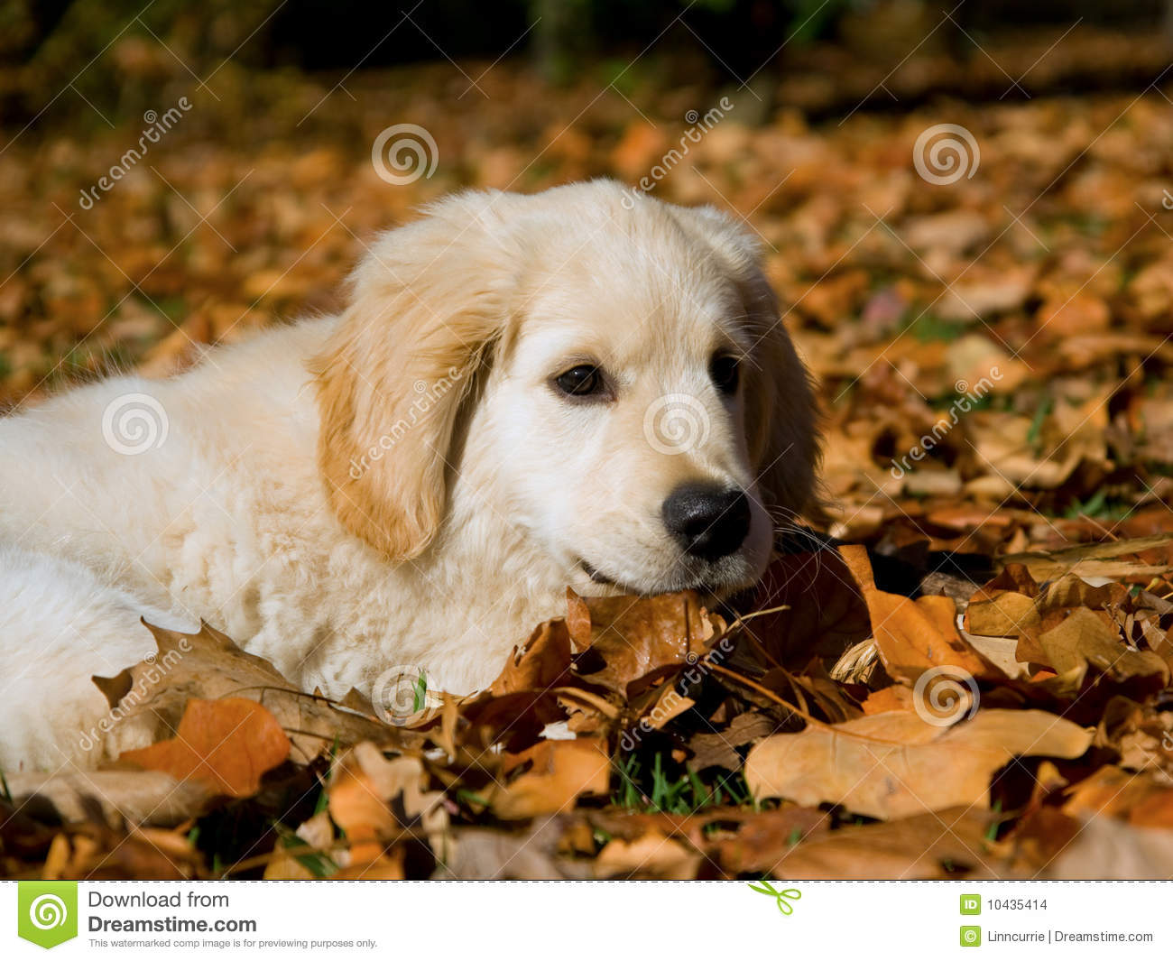 Computer Wallpaper Fall Leaves Cute Golden Retriever Puppy Lying On Autumn Leaves Stock