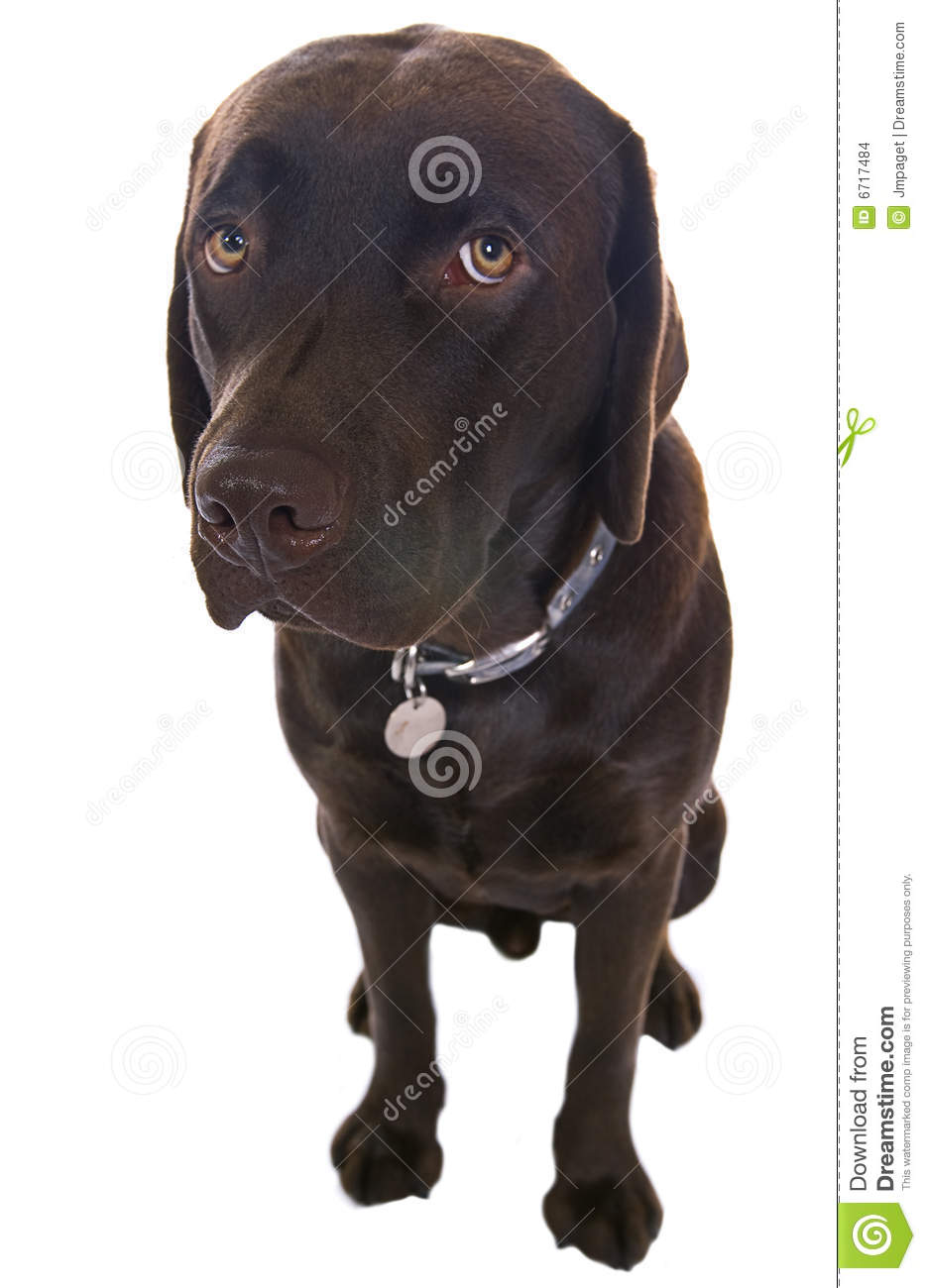 Cute Labrador With Big Sorry Eyes Stock Images  Image