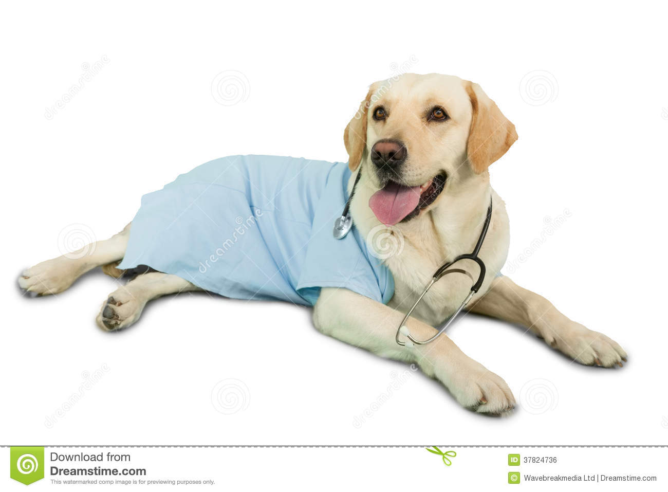 Cute Indian Girl Child Wallpaper Cute Labrador Dog Lying On Floor Wearing Scrubs And