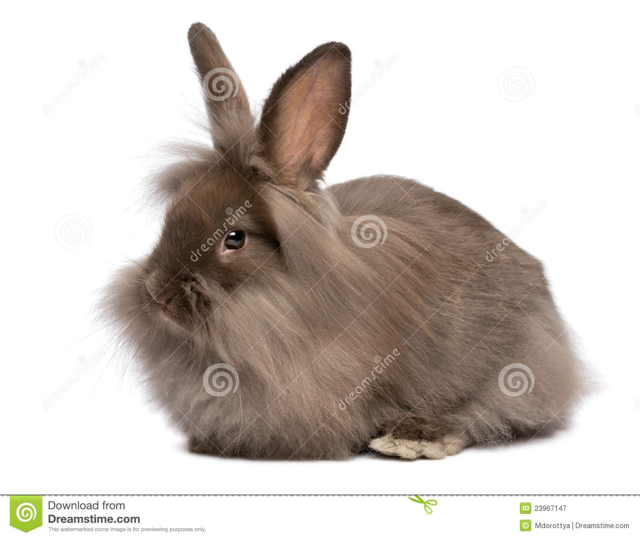 Cute Fat Baby Wallpapers A Cute Lying Chocolate Lionhead Bunny Rabbit Stock Image