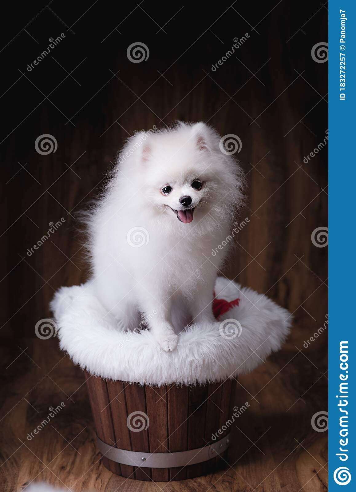 Pomeranian Lion : pomeranian, Pomeranian, Photos, Royalty-Free, Stock, Dreamstime