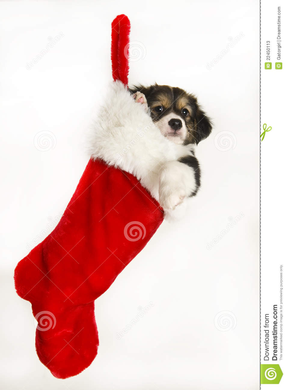 Cute Puppy In Christmas Stocking Hanging Stock Photos