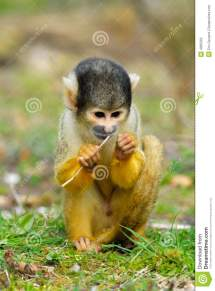 Cute Squirrel Monkey Royalty Free Stock - 4965265