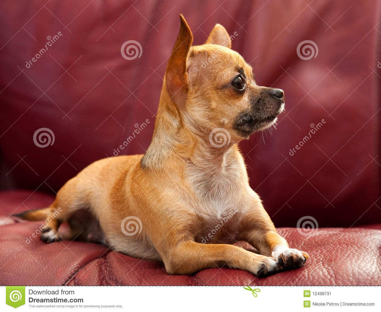 pet dog sofa how to wash microfiber cushion covers cute tiny chihuahua on a red couch stock image - ...