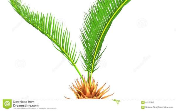 Illustrations of Palms Cycads