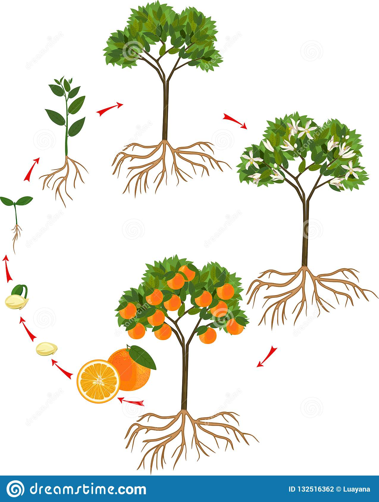 Cycle De Vie D'un Arbre : cycle, arbre, Cycle, D'arbre, Orange, Illustration, Vecteur, Phases,, Jardin:, 132516362