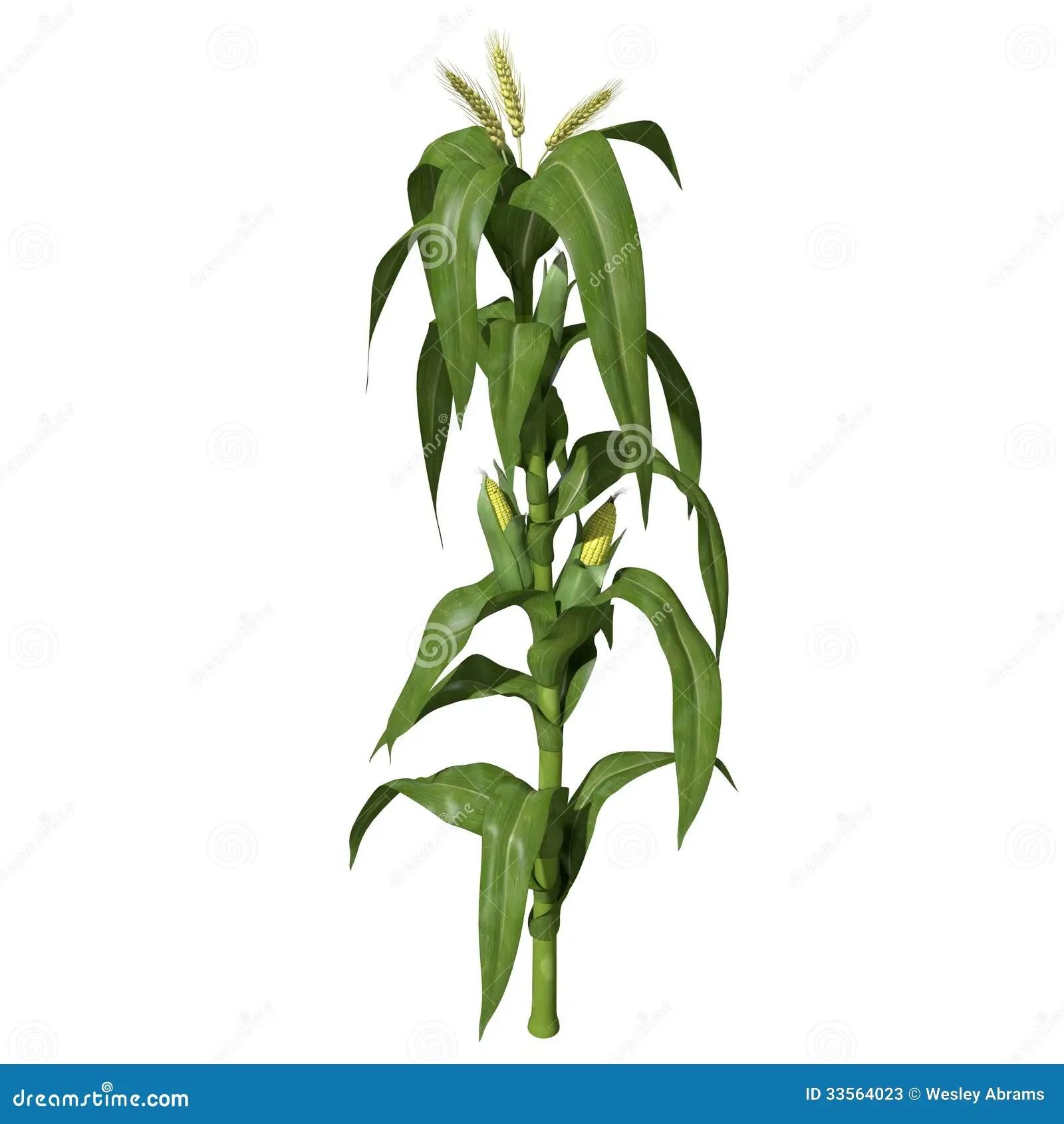 3d corn stalk stock