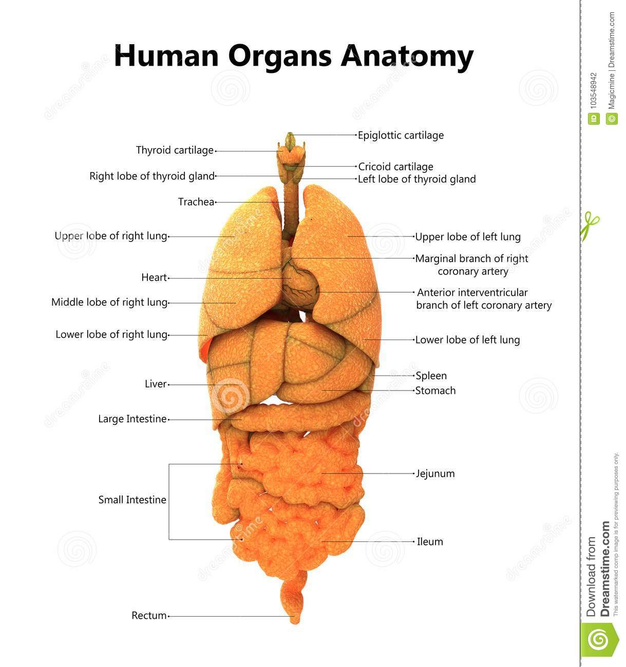 hight resolution of 3d illustration of human body organs anatomy with detailed labels