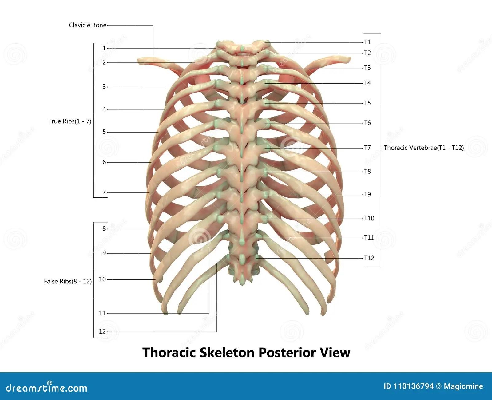 Human Body Skeleton System Thoracic Skeleton Posterior