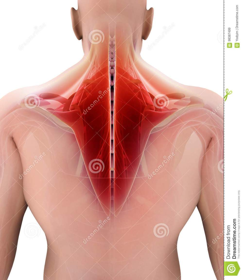 medium resolution of 3d illustration of trapezius part of muscle anatomy