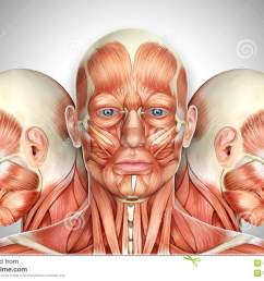 3d illustrationmale face muscles anatomy with side views [ 1300 x 981 Pixel ]