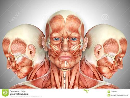 small resolution of 3d illustrationmale face muscles anatomy with side views