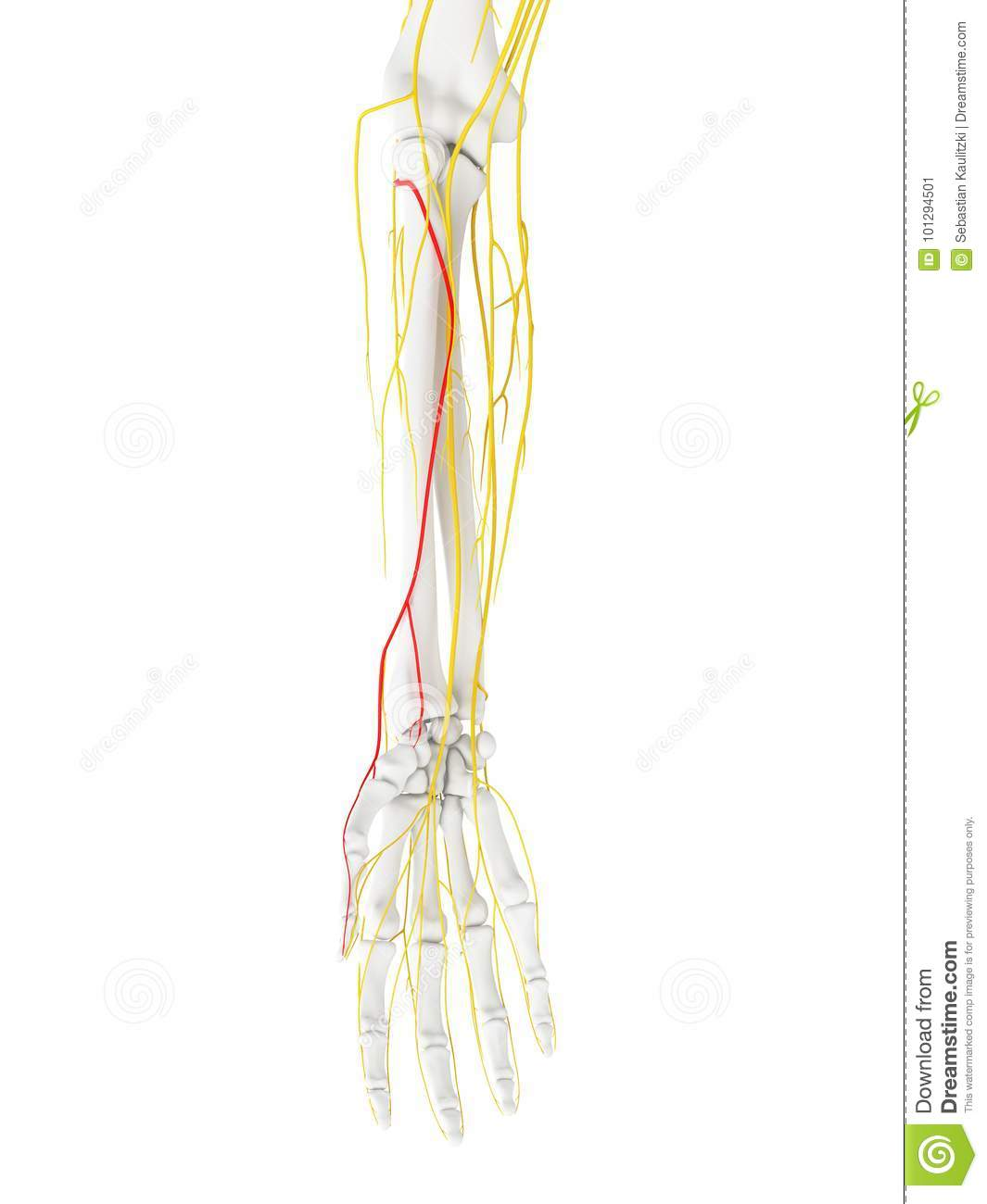 radial nerve diagram 1974 bmw 2002 wiring the superficial branch stock illustration 3d rendered medically accurate of